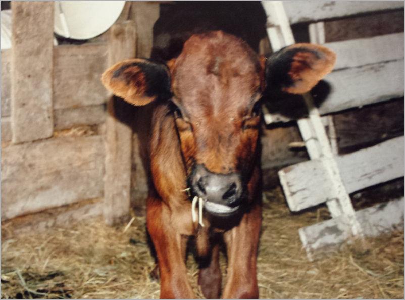 grass-fed natural beef jjjm organic farms